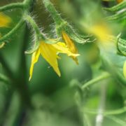 yellow flowers and unripened fruit of a tomato plant