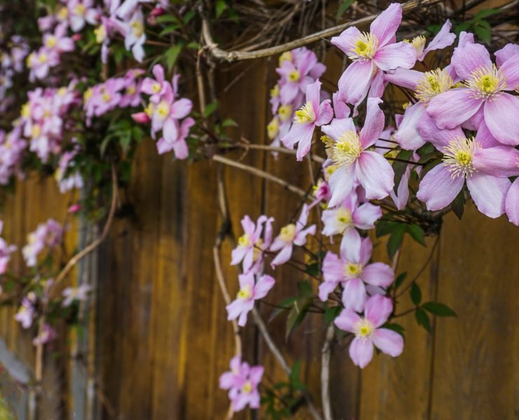 pink flowers of clematis Elizabeth trained against a timber fence
