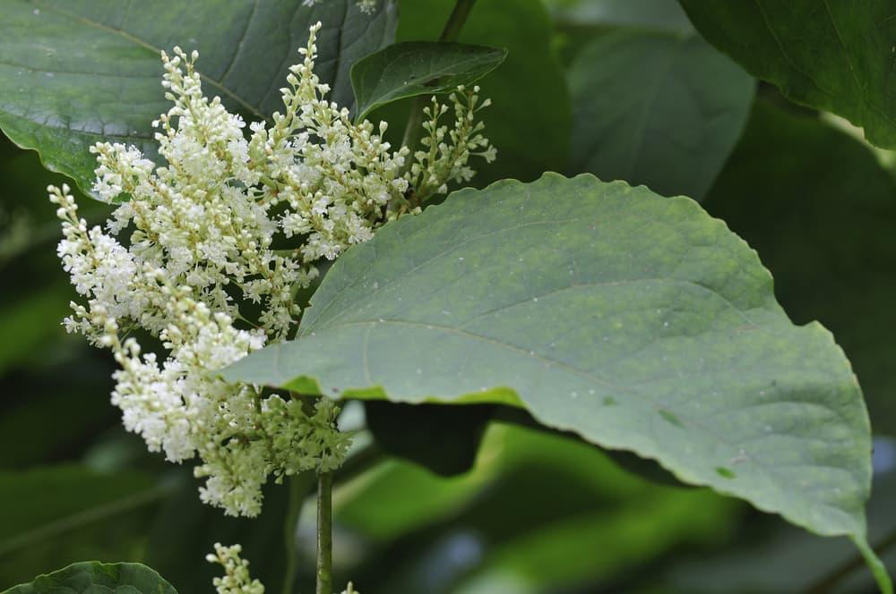 white knotweed flowers