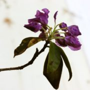 wilting leaves of purple rhododendron