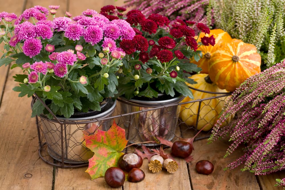 autumnal flowers in pots with pumpkins and heather