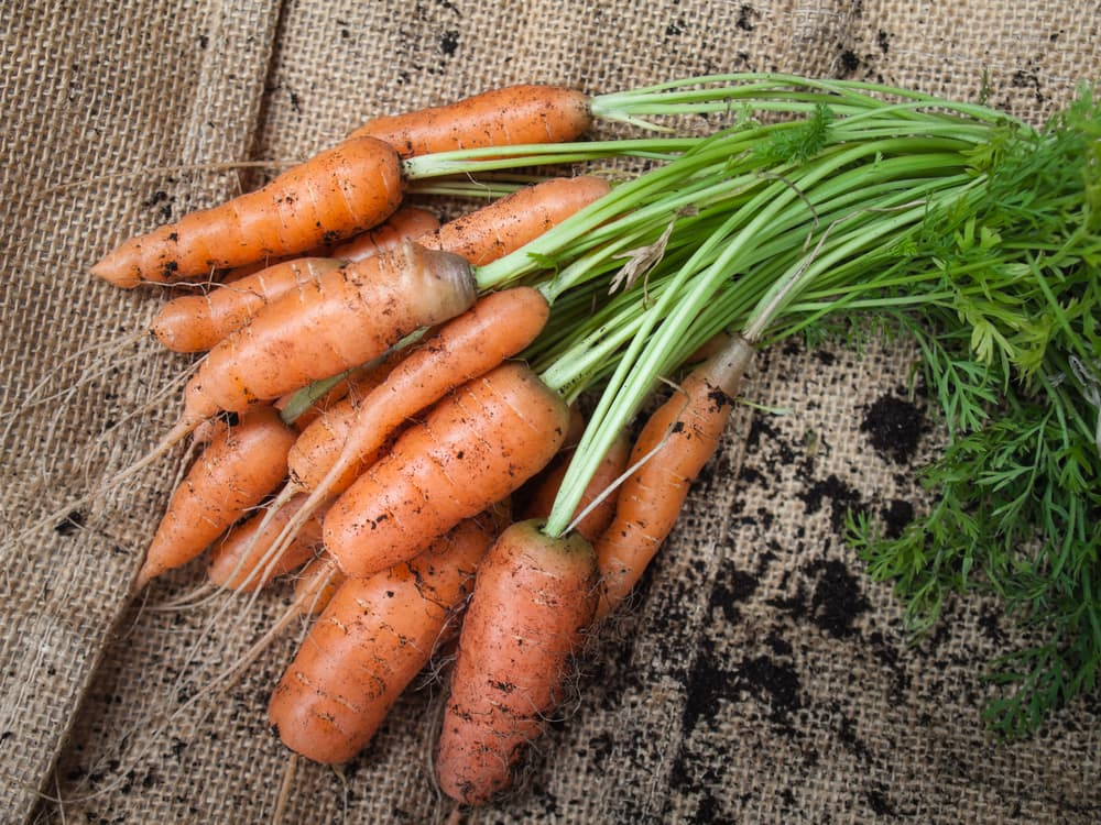 short carrots harvested and sat on a grow bag
