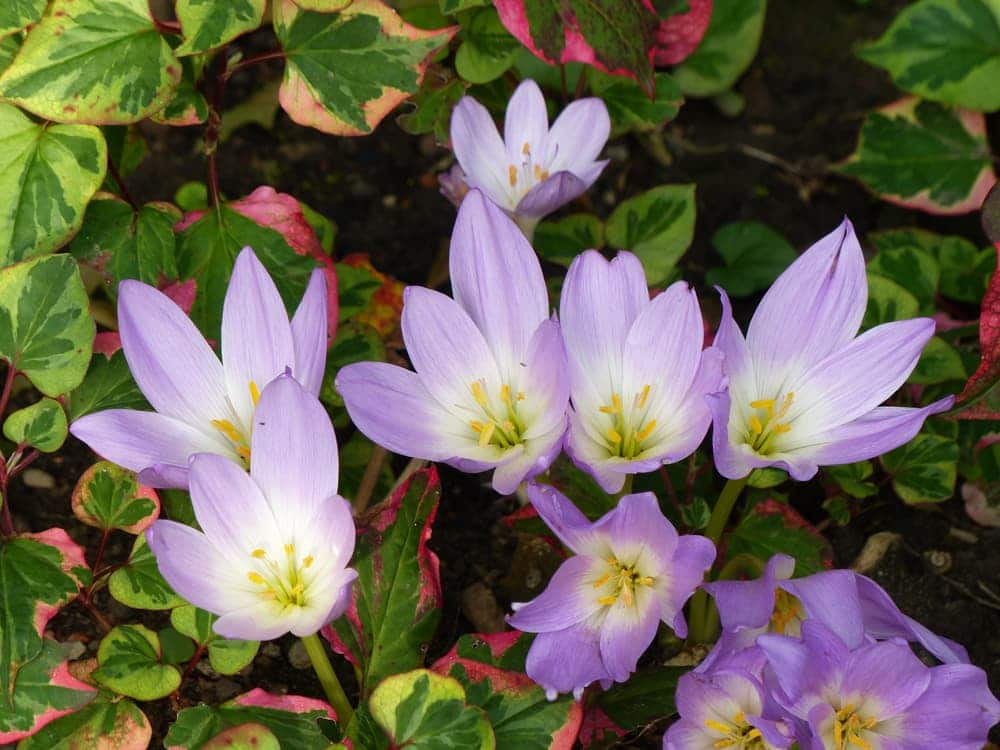 purple and white coloured colchicums