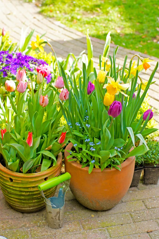 tulips and daffodils in containers with a bulb planter