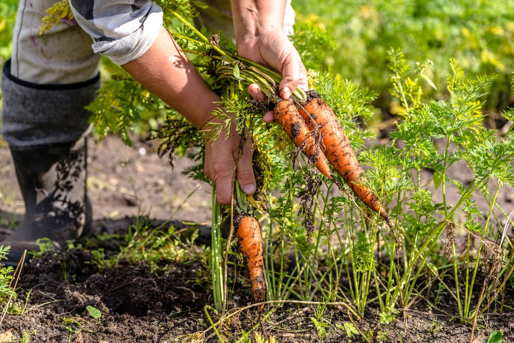 man pulling carrots out of the ground