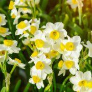 multiple yellow daffodils