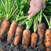 farmer pulling carrots from the soil